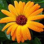 calendula. Календула – эликсир здоровья и молодости