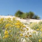 трава бессмертник песчаный, полезные свойства, применение, противопоказания