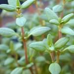 чабрец трава, полезные свойства, применение, противопоказания при беременности